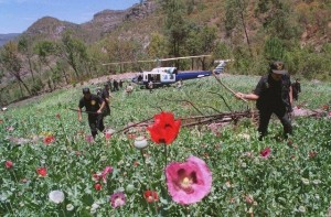 Mexican soldiers destroy plants in a poppy field. (AP)